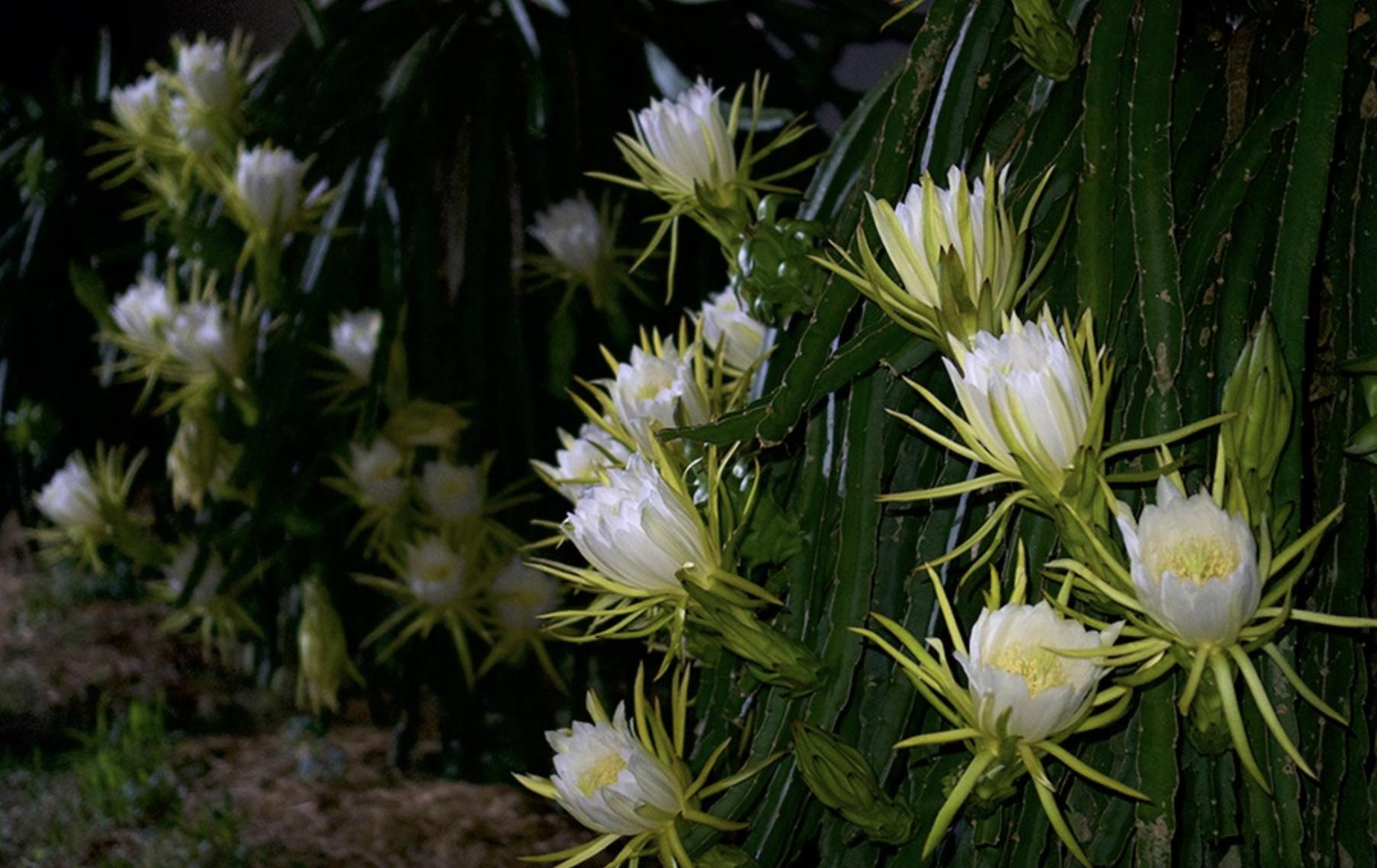 Hoa thanh long